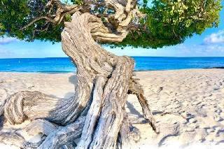 Fofoti tree