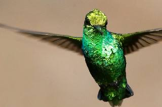 'Blenchi' Hummingbird