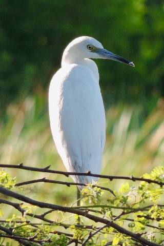 White Heron in Bubali Bird Sanctuary