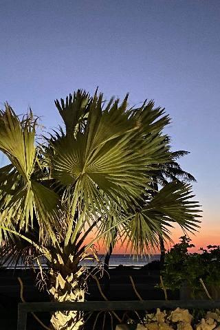 Washingtonia palm tree